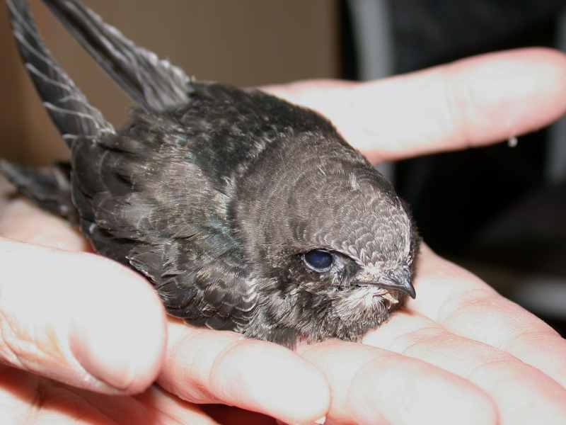 Mauersegler fotogalerie 2005 seite 26 for Fliegenlarven in der wohnung